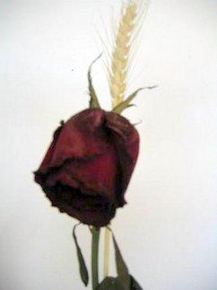 Mi rosa de Sant Jordi 7 días después ( Sic transit gloria mundi)